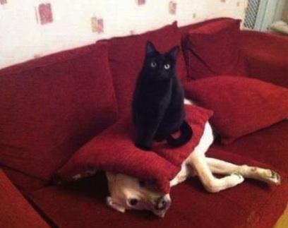 funny cat dominates