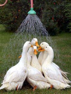funny ducks showering