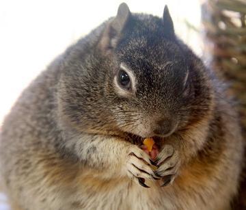 funny fat squirrel