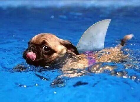funny pug in the water