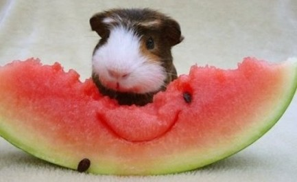 guinea pig with watermelon