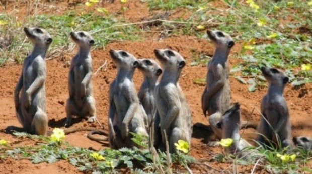 meerkats looking up.JPG