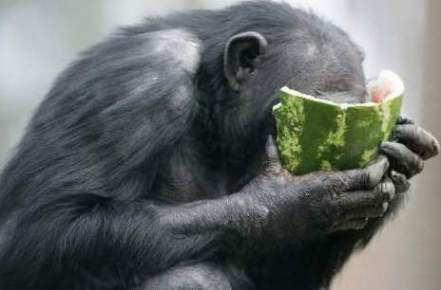 orang utan with watermelon