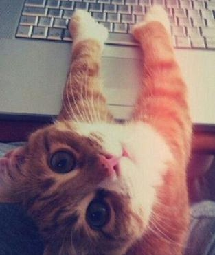 orange cat on the keyboard