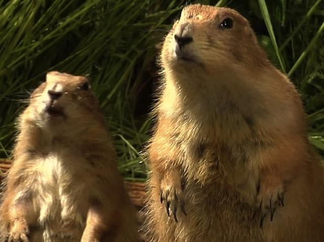 Prairie dogs looking up