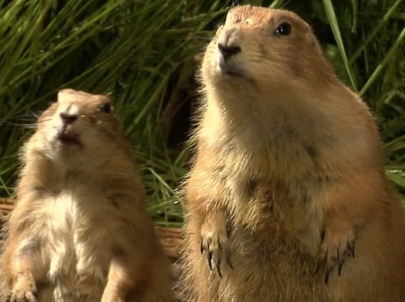 Prairie dogs looking up