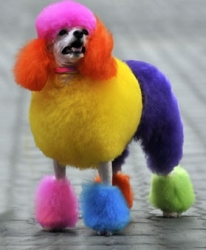 colorful-poodle-4