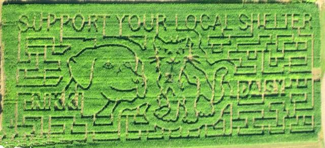 corn maze-5
