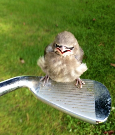 cute-bird-on-golf-club