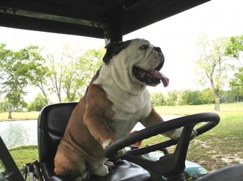 cute-bulldog-on-buggie