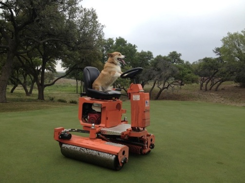 cute-corgi-working-at-golf-course
