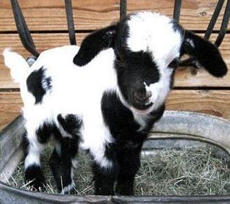 cute goat.jpg