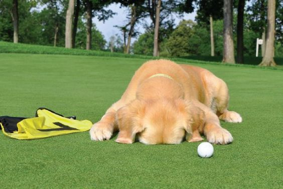 cute lab at golf course.jpg