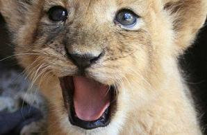 cute lion.jpg