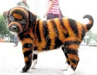 cute puppy tiger-6.jpg