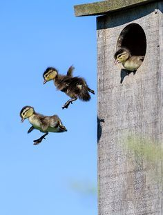 duckling-jumping-2