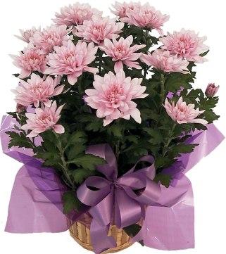 pink-chrysanthemum