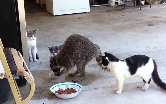 racoon-stealing-food
