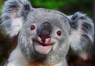 smiling-koala