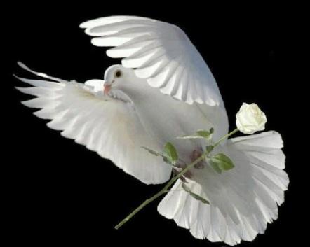 white-dove-with-white-rose