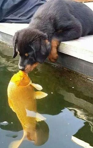 cute-rottie-kissing-fish