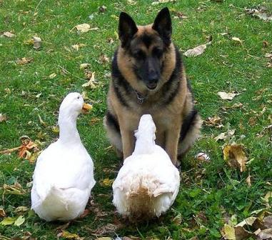 shepherd-with-ducks