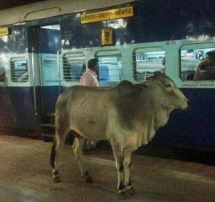 cow-at-the-train-station