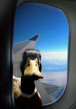 duck-in-a-plane