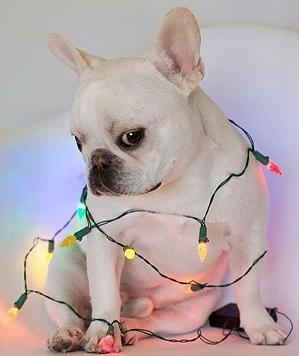 cute-bulldog-with-lights