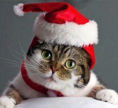 cute santa cat.jpg