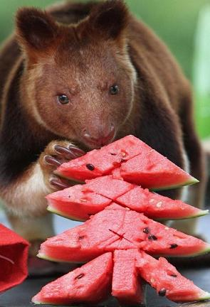 funny-animal-loves-watermelon