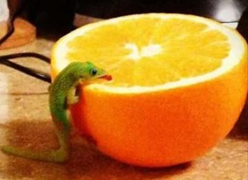 funny-lizard-loves-orange