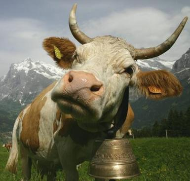 cow-with-bell