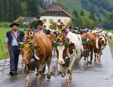 cows-with-bells