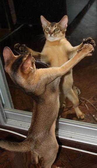 cat-looking-in-mirror