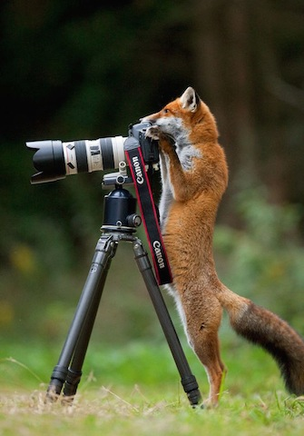 fox-with-camera