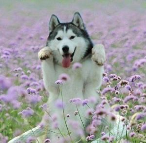 husky with flowers.jpg
