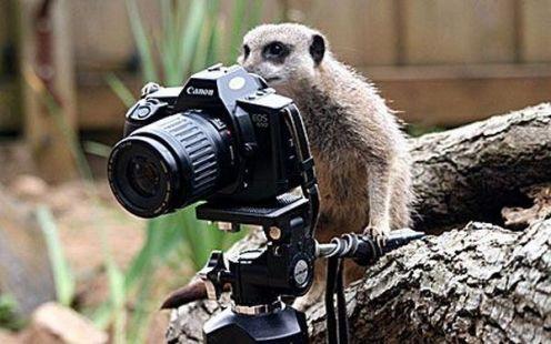 meerkat-wit-camera