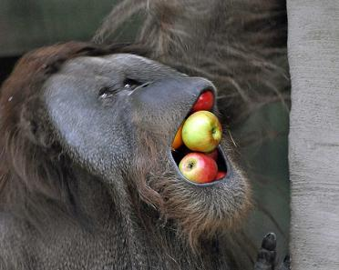 orang utan and apples.jpg