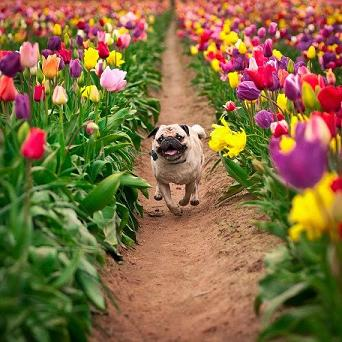 pug-with-flowers