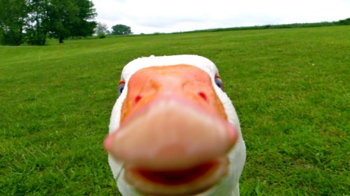 cute goose-1.jpg