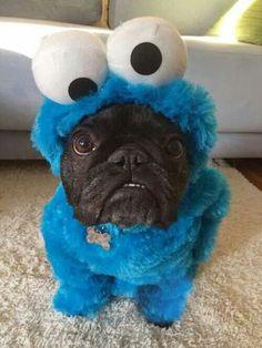 cute pug.jpg