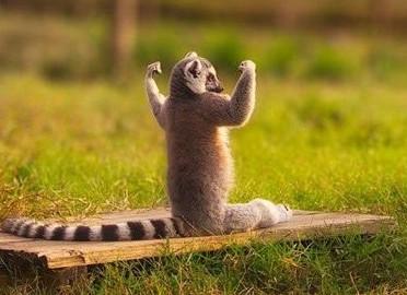 strong meerkat