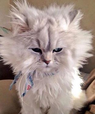 cat with messy hair
