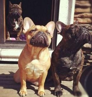 cute bulldogs enjoying the sun.jpg