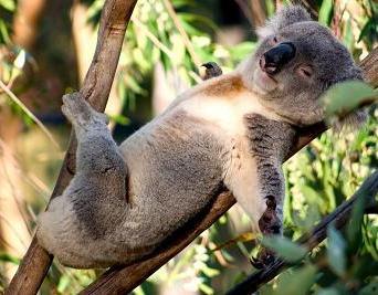funny lazy koala.jpg