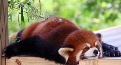 lazy red panda.jpg