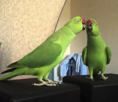parrot talking to self.jpg