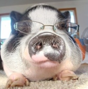 pig with glasses