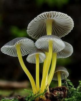 mushroom yellow and white